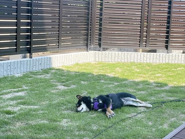 庭 芝生 犬